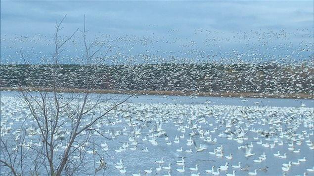 Les oies blanches du réservoir Beaudet