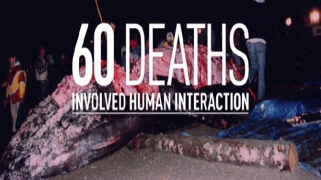 Décès des baleines dans l'Atlantique Nord : L'activité humaine, encore et toujours