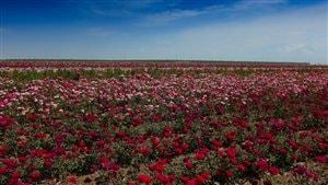 Hybrideur de roses, un métier rare
