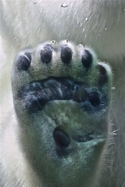 Dessous de patte d'ours polaire
