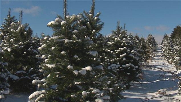 Le Québec produit environ 1,2 million d'arbres de Noël naturels par année.