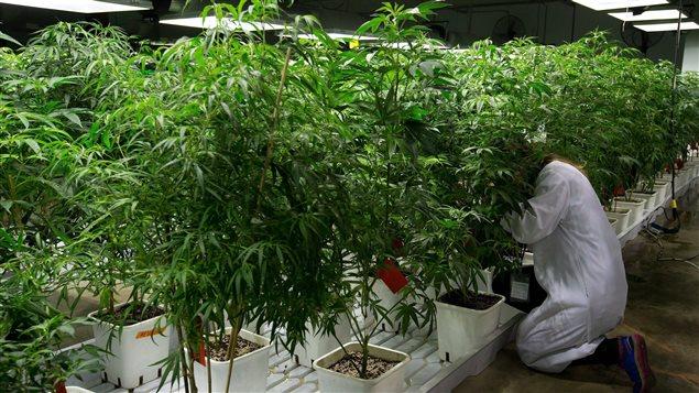 Culture de marijuana à des fins médicales