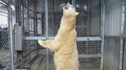 Le Zoo de Saint-Félicien reçoit une nouvelle ourse polaire - Radio-Canada