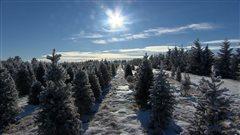 La plantation d'arbres de Noël Mason Tree de Saskatchewan.