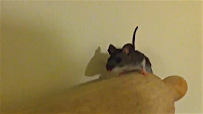 explosion de la population de souris dans les maisons de la r gion d 39 ottawa ici radio. Black Bedroom Furniture Sets. Home Design Ideas