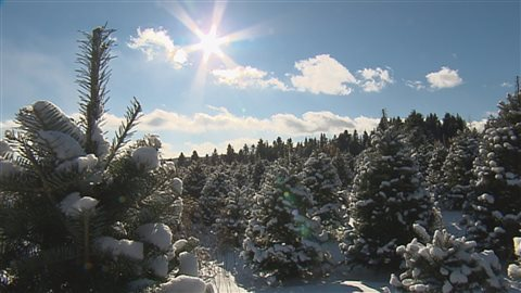 Une ferme canadienne de sapin de Noël.