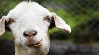 La plus belle chèvre