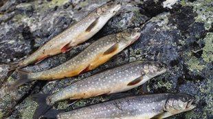 Des poissons pour lutter contre le dopage?