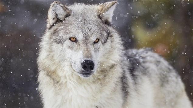 Le loup, l'animal préféré de Pascal Laliberté de l'entreprise L'Gros Trappeur de Guérin au Témiscamingue