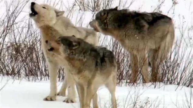 Colombie-Britannique: abattre des loups afin de protéger des caribous