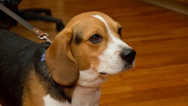 Le beagle de l'École Perce-neige, à Pierrefonds-Roxboro, Moustique