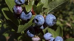 Bleuets sur un plant à l'état sauvage