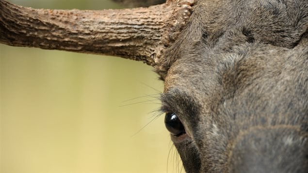 A close up of a moose's eye and horn.