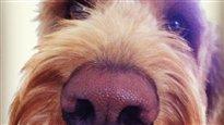 Un chien pour détecter la bactérie <i> C. difficile</i>