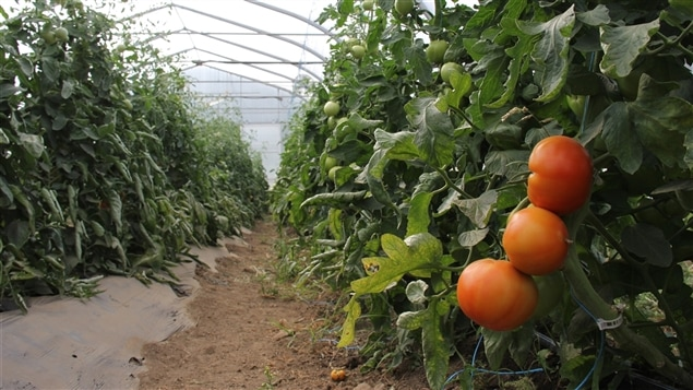 Production de tomates en serre