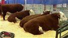 Le moral des producteurs bovins est au beau fixe