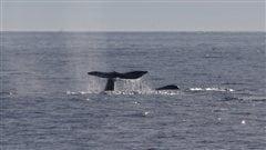 Photo d'une baleine grise. La tribu Makah, établie sur la côte dans l'État de Washington aux États-Unis, de demande à prélever un maximum de 24 baleines grises sur six ans.