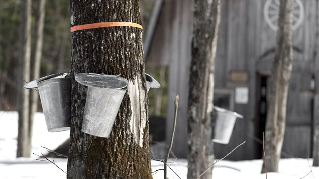 Récolte de l'eau d'érable.