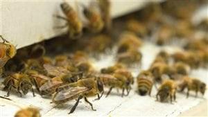 Le Canada tarde à protéger ses abeilles