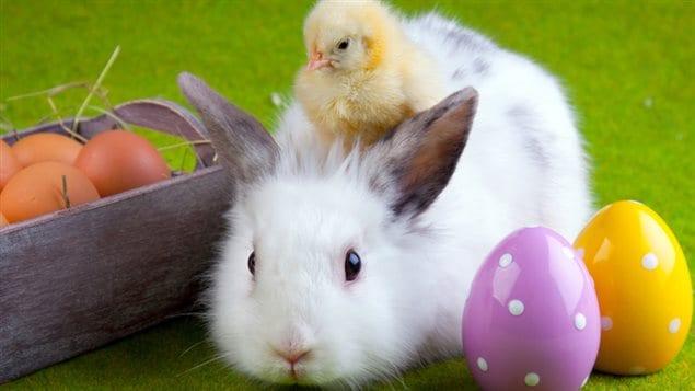Pour aider à contrer ce problème et à sensibiliser le public, la SPCA de Montréal a organisé des ateliers gratuits ce week-end de Pâques pour permettre aux gens intéressés de découvrir le « monde » des lapins, leurs comportements uniques et leurs besoins spécifiques.