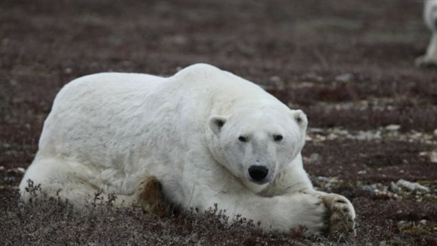 A bear showing loose skin flaps from a summer without much food, waits on the shores of Hudson Bay for the sea to freeze over so it can begun hunting for seal