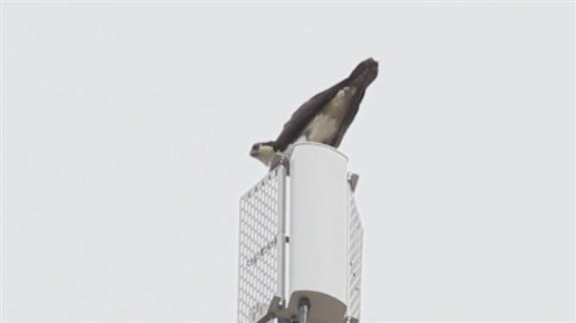 Des balbuzards pêcheurs ont fait leur nid près d'Amherstburg.