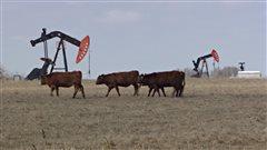 Des vaches et des puits de pétrole dans un champ du sud-est de la Saskatchewan.