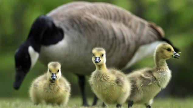 Une famille d'oies bernaches.