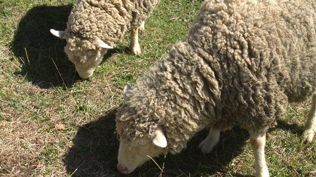 Des moutons de la ferme La bergère et ses moutons