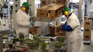 Des travailleurs étrangers temporaires dans une usine d'alimentation québécoise.