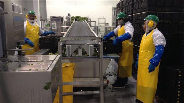 Travailleurs étrangers temporaires à l'usine d'emballage de laitue Veg Pro de Sherrington au Québec.