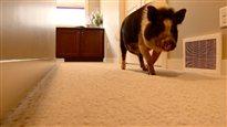 Un cochon domestique est expulsé de sa maison
