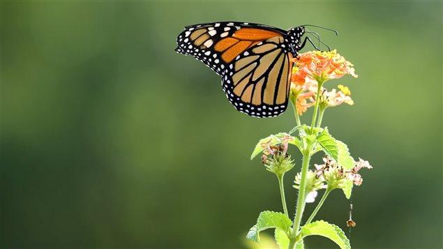 L'importance de répertorier les papillons.