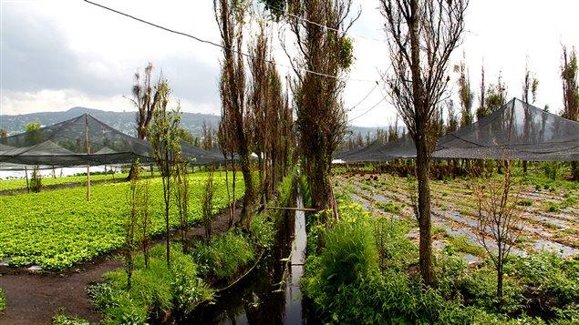 Les chinampas, ou jardins flottants dans le quartier de Xochimilco près de Mexico