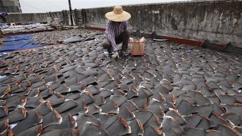 A worker collects pieces of shark fins dried on the rooftop of a factory building in Hong Kong in 2013 .