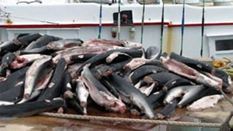Example of illegal shark fishing in August 2011, Hundreds of sharks were seized from a Taiwanese fishing vessel in Palau