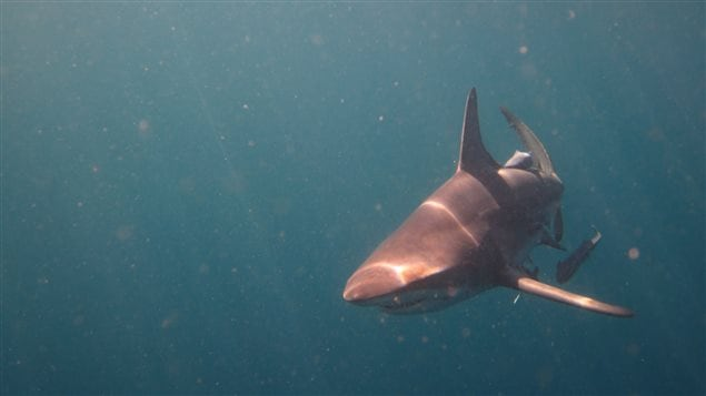 Blacktip shark off the coast of South Africa