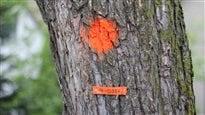 Un portrait de la santé de la forêt urbaine à Winnipeg