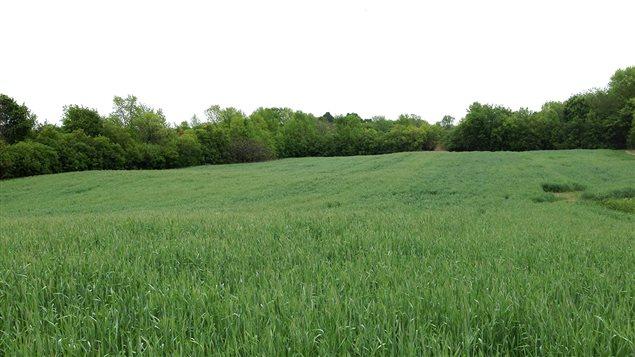 Le champ qui va être cultiver par le projet Cultiver l'espoir : l'engrais vert sera bientôt enfoui avant la transplantation