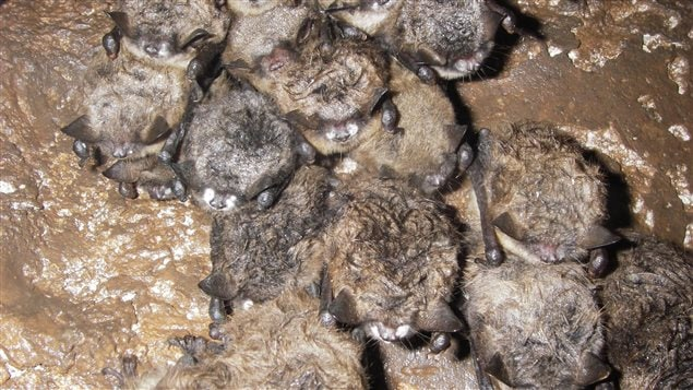It's estimated white-nose syndrome has killed 5.7 million bats in Canada and the United States.