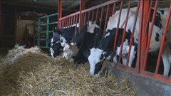 Vaches dans une étable broutant le foin.