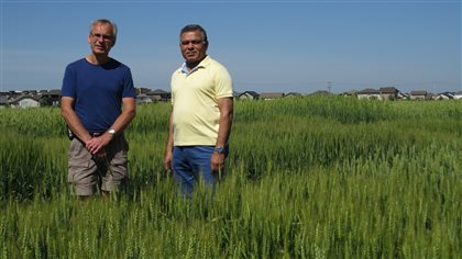 L-R- Professor Pierre Hucl, lead author, and professor Ravi Chibbar-supervisor in a field of immature wheat as part of the study of 37 wheat varieties showing virtuall no change in composition over more than 100 years of grains of 37 varieties