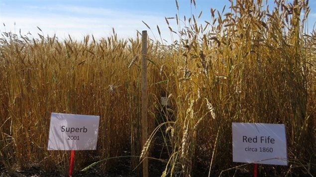 ancestral and modern varierties of wheat were grow ranging from red fife dating from 1860, to Superb from 2001. The newest variety tested was 2007. The crops were grown and analysed in 2013, and regrown and analysed for verification in 2014