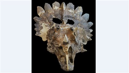 The spines and frills around the skull were probably for species recogitions, say paleontologists.