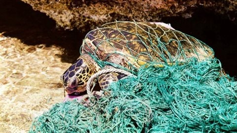 Loggerhead turtle entangled inderelict 'ghost' net.