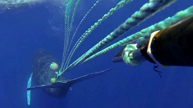A response team led by the Hawaiian Islands Humpback Whale National Marine Sanctuary, working closely with NOAA Fisheries, successfully rescued an entangled humpback whale in 2013. Rescuers managed to cut away only 40 feet of trailing line on the first day of the response. But they also attached a satellite tag into the trailing gear, allowing them to relocate the animal a few days later. During the second attempt, they removed an additional 200 feet of line and two buoys, completing the rescue