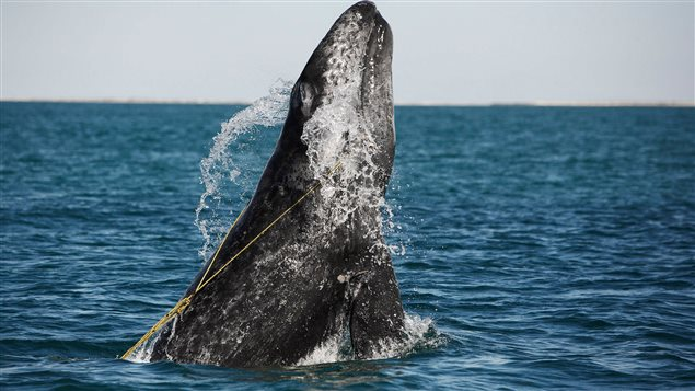 Grey whale breaching while entangled in a lobster trap line © Brandon Cole / naturepl.com (CNW Group/World Animal Protection