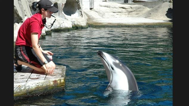 Hana, a Pacific white-side dolphin, seen here working with a trainer at the Vancouver Aquarium, died on Sunday evening in spite of undergoing groundbreaking surgery by an international team to clear an intestinal problem.