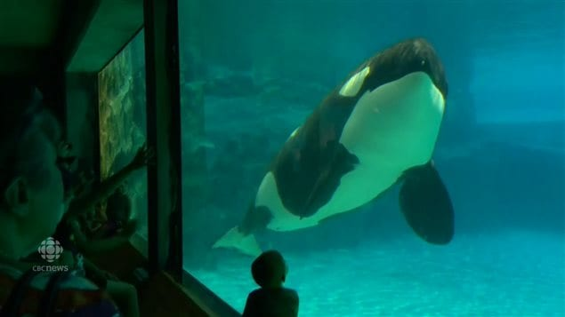 Kiska is Marineland's killer whale. It is the only orca in captivity in Canada. An Ontario law bans any more orcas in captivity. A new Senate proposal goes further