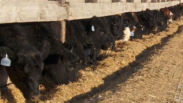 Des boeufs sur une ferme